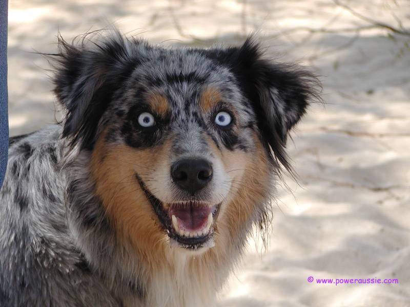 ennuideluxe: Daily Cute EXTRA: Australian Shepherds ...