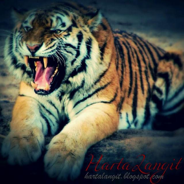 gambar macan/harimau