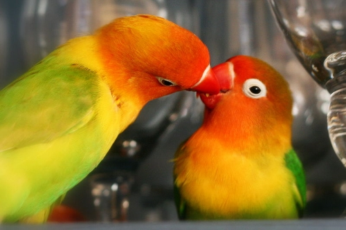 cara membedakan burung lovebird jantan dan betina secara