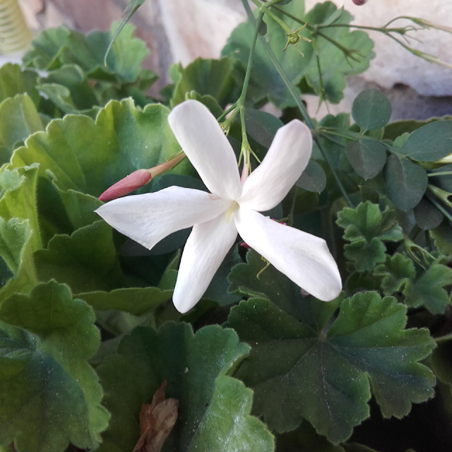 Fiore di gelsomino