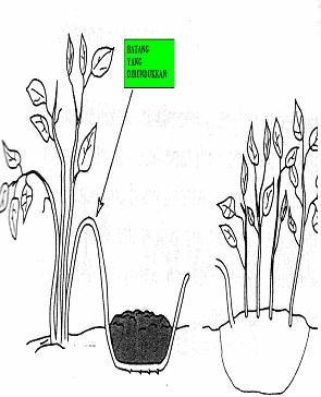 Gambar Teknik perbanyakan tanaman dengan runduk