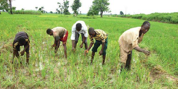 Flood destroys rice farms in Taraba