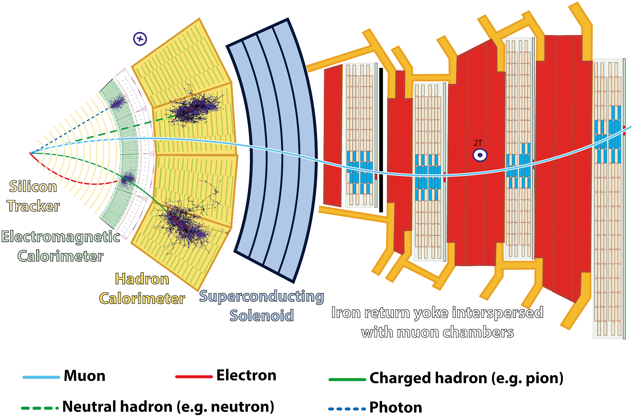 Layout of the CMS detector, showing different particle species interacting with the sub-detectors (Image credit: CERN).