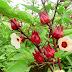 Hoa atiso đỏ, tác dụng của hoa atiso