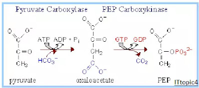 Pyruvate Carboxylase