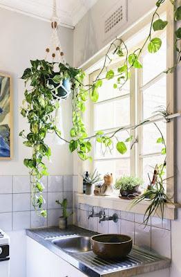 El potus es muy recomendable para cocinas y baños