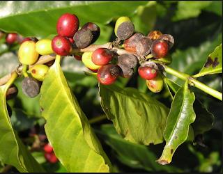 cara mengatasi hama tanaman kopi