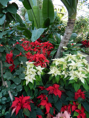 red white poinsettias and banana trees at allan gardens christmas flower show 2012 by garden muses: a toronto gardening blog