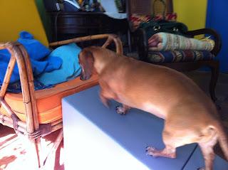 cão subindo com equilíbrio