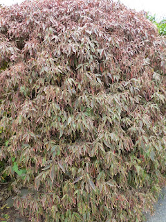 Pseuderanthemum sp.- Pseudéranthème non identifié