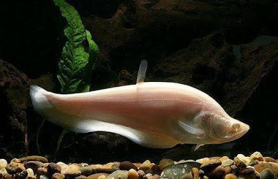 Ikan Belida Albino