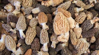 Morel mushroom growing conditions