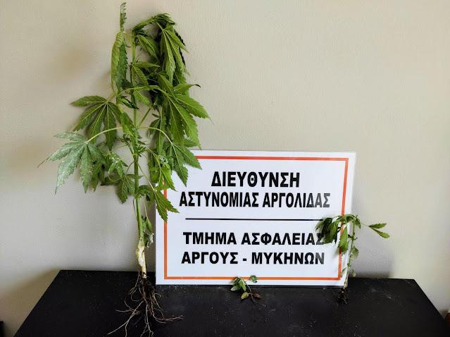 Χειροπέδες σε 61χρονο στο Άργος για καλλιέργεια κανναβης