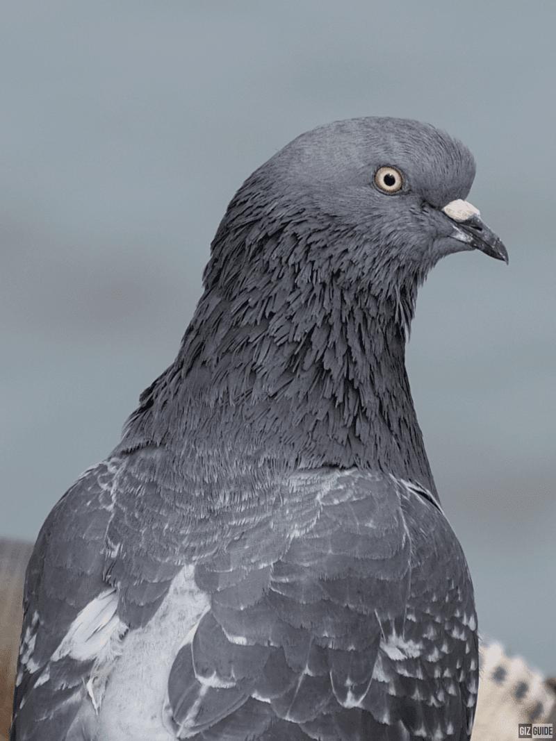 100 percent crop - Pier Pigeon