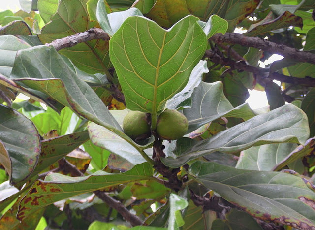 IS FICUS LYRATA AN INDOOR PLANT?