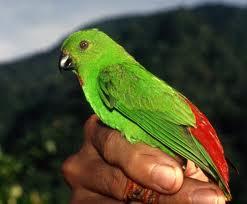 Burung Serindit Makan Apa