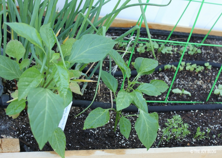 Peppers. carrots, cucumbers and radishes in a raised bed // www.thejoyblog.net
