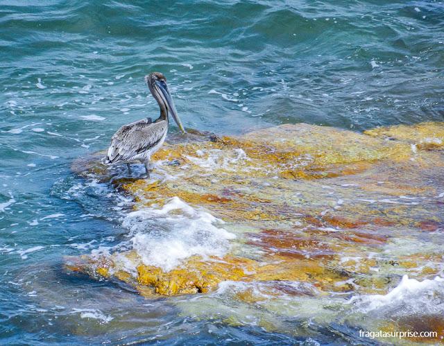 Pelicano no arrecife diante da muralha da Cidade do Panamá