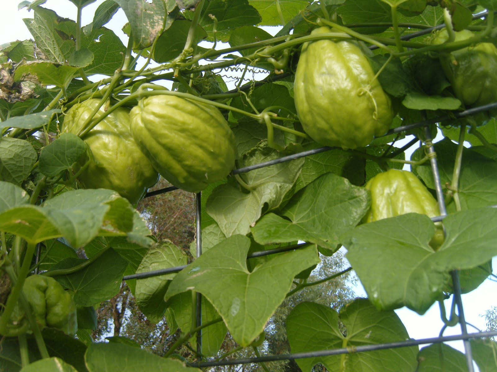 Image Result For How To Plant A Vegetable Garden In Pots