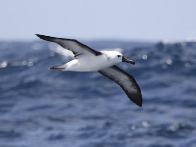 familia Diomedeidae en Argentina Albatros pico fino Thalassarche chlororhynchos