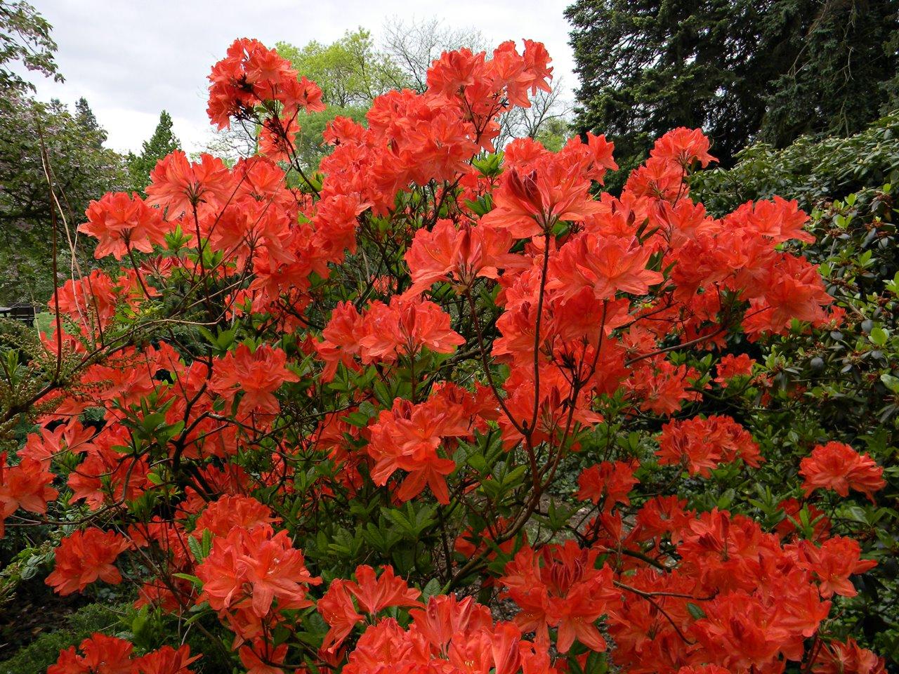 kwiaty, czerwone krzewy, Kórnik