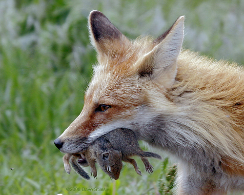 fox eating two mice at once