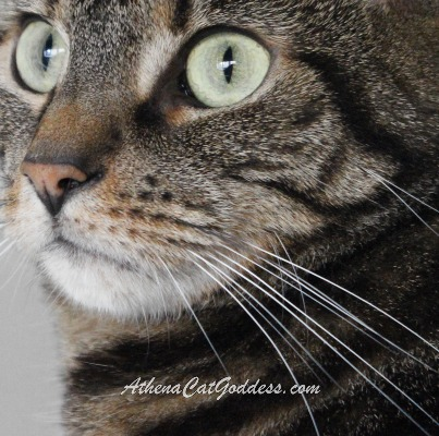 close-up of tabby cat