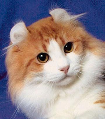 American Curl Cat Harga