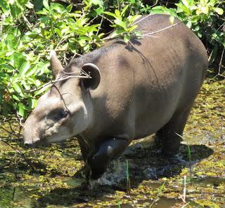 Brazilian Tapir, Tapirus terrestris