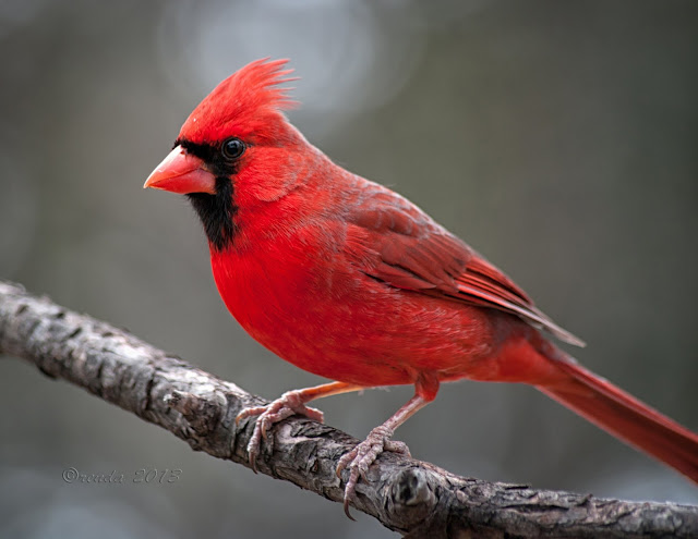 The Attractive Northern Cardinals birds