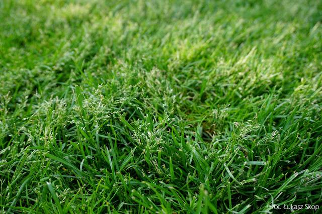 trawnik z wiechliny