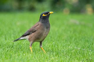 Ide nama untuk burung jalak