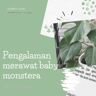 Pengalaman merawat baby monstera