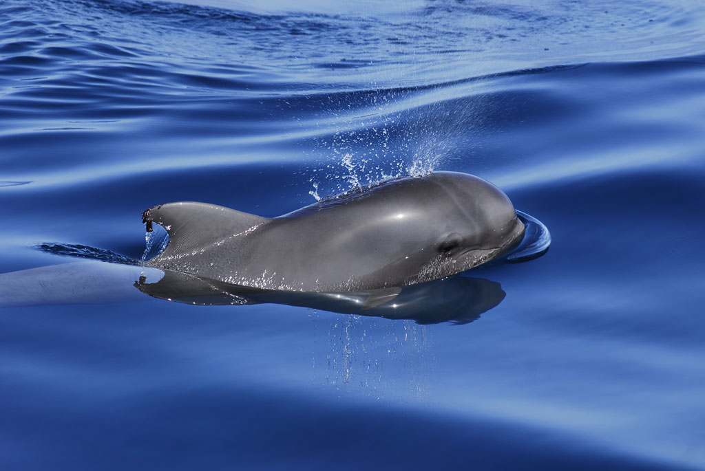 TENERIFE-LA GOMERA AWARDED AS FIRST WHALE HERITAGE SITE IN EUROPE