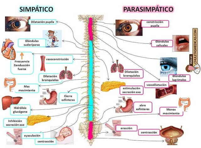 Mapa mental sistemas nerviosos simpático y parasimpático