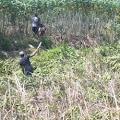 Tanaman Mangrove di Hutan Produksi Kwala Serapuh Kembali Ditebang Orang Suruhan Toke Tambak