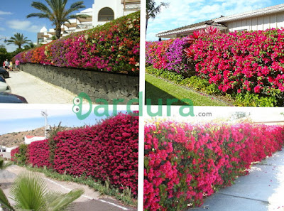 Pagar rumah dengan tanaman bunga bugenvil