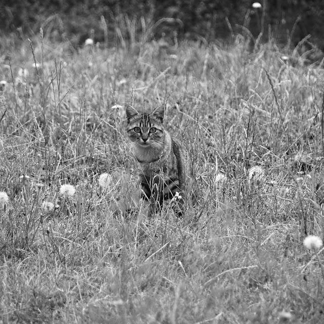 Domestic cats at risk of being snared by farmer