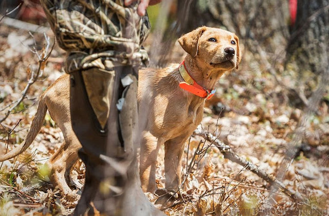 The Right way To Train a Shed Hunting Dog