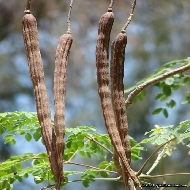 Pokok Kelor, Cara Penanaman Dan Penjagaan