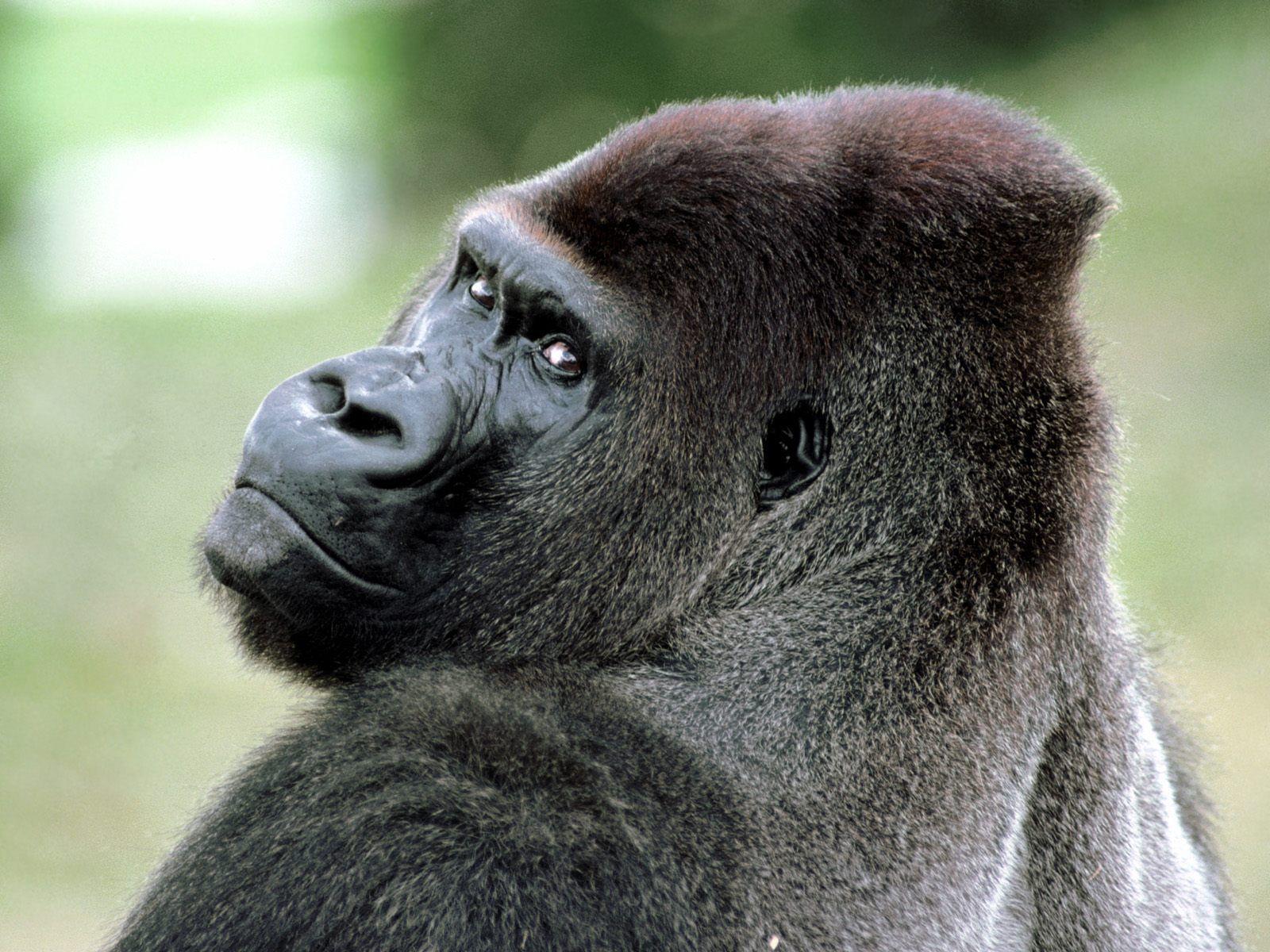 3d animals wallpaper ape - photo #1