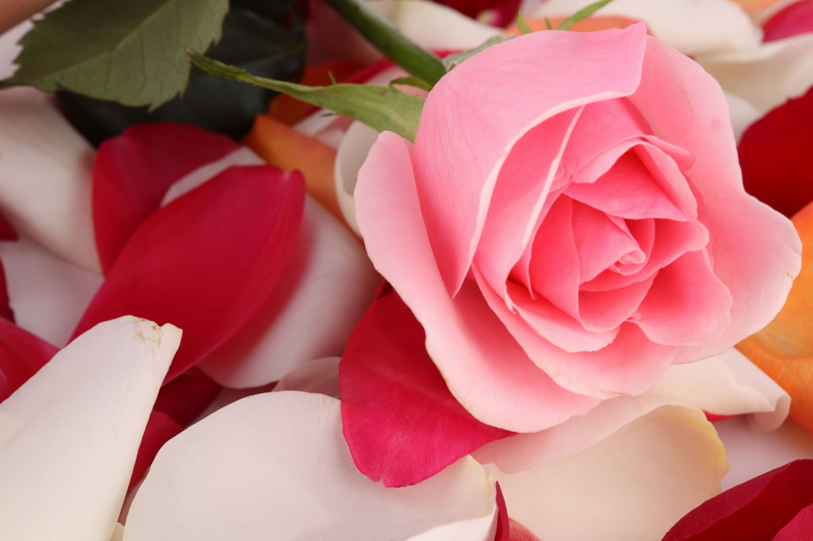 Gambar Bunga Mawar Yang Cantik Cantik GUDANG GAMBAR