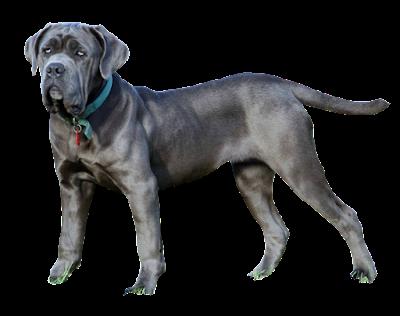 The 10 Italian Dog Breeds Dog Breed Info