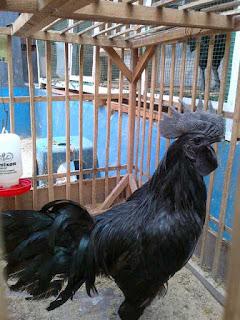 Waw fantastis harga Ayam Cemani di Amerika Bisa sampe 2.500 US$ - naon wae news