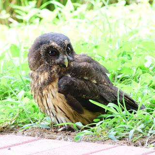 mottled owl in Costa Rica