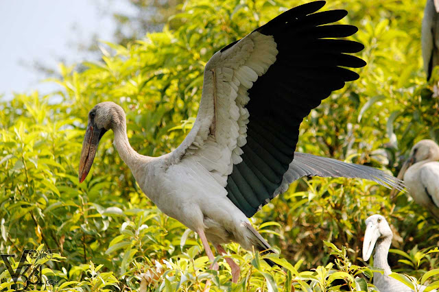 Asian Open-Billed Stork - Ranganathittu
