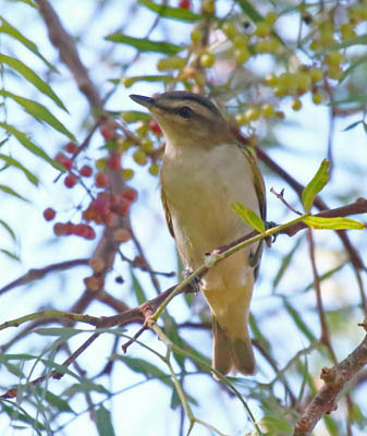 Photo of a Red-eyed Vireo in a shrub