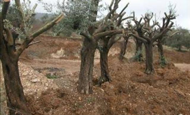 إقتلاع عشرات من أشجار الزيتون فى سلفيت