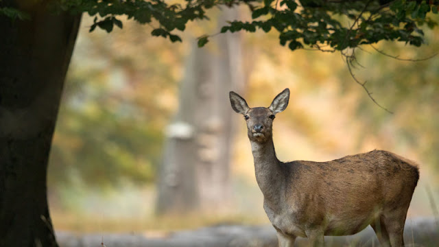 A doe beneath tree branches