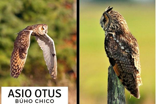 En el bosque el Asio otus o Búho Chico se confunde con otras especies de búhos similares